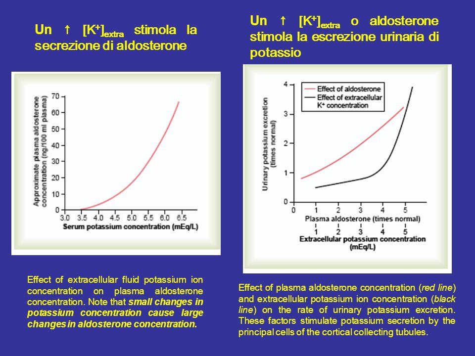 Un ↑ [K+]extra stimola la secrezione di aldosterone